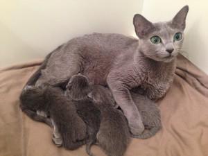 Goldie med sina kattungar Tarok, Uno, Vira och Whist